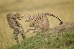 Cheetah Fight by Kevin Bedford