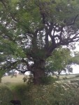 Ancient Ash Tree, Manor Vale, Kirkbymoorside
