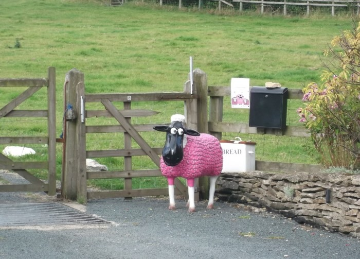 Pink sheep near gate